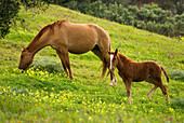 Side View Of Horse And Foal Grazing In Meadow