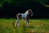 Feral Pony, Co Dublin, Ireland