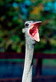 'Ostrich With Open Mouth; Ireland'