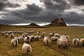 Sheep Grazing By Lindisfarne Castle, Holy Island, Berwick-Upon-Tweed, Northumberland, England, Eu