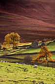 Sheep On A Hill, North Yorkshire, England