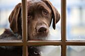 A Chocolate Labrador Dog Looks Through A Steamy Window