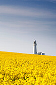 Field Of Yellow Flowers, Lighthouse