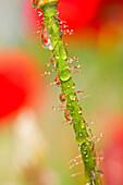 Dew Drops On Flower Stem
