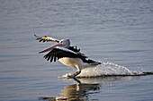Australian Pelican Landing On Water, Pelecanus Conspicillatus, Kangaroo Island, Australia