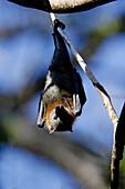 Grey Headed Flying Fox Fruitbat, Pteropus Poliocephalus, South Australia
