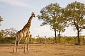 Giraffe (Giraffa Camelopardalis), Arathusa Safari Lodge, Sabi Sand Reserve, Mpumalanga, South Africa