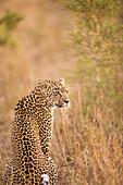 Leopard (Panthera Pardus), Arathusa Safari Lodge, Sabi Sand Reserve, Mpumalanga, South Africa