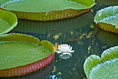 Pond With Giant Victoria Amazonica Water Lilies