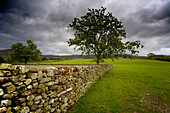 Tree Along A Stone Fence, Cumbria, England