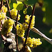 Close-Up Of Green Grapes, Sag Harbor, New York, Usa