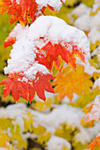 'Oregon, United States Of America; Snow On The Vine Maple Leaves In Autumn In Mount Hood National Forest'