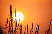 Tall Grass In A Sunset