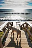 'Cadiz, Andalusia, Spain; A Dog On The Boardwalk By Hurricane Hotel Beach At Tarifa, Costa De La Luz'