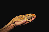 A Lizard On A Person's Hand
