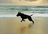 'A Dog Running On The Beach; Tarifa, Cadiz, Andalusia, Spain'