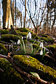 'Dumfries, Scotland; Snowdrops (Galanthus) Growing Among The Rocks Covered With Moss'