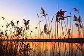 'Willmar, Minnesota, United States Of America;; Tall Grass Along The Shoreline At Sunset'
