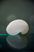 A Seashell Reflected In A Shiny Table Top