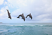 'Roatan, Bay Islands, Honduras; Bottlenose Dolphins (Tursiops Truncatus) Jumping Together In The Caribbean Sea'