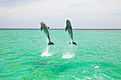 'Roatan, Bay Islands, Honduras; Two Bottlenose Dolphins (Tursiops Truncatus) Jumping Out Of The Water At Anthony's Key Resort'