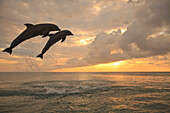 'Roatan, Bay Islands, Honduras; Two Bottlenose Dolphins (Tursiops Truncatus) Jumping Out Of The Water At Anthony's Key Resort At Sunset'