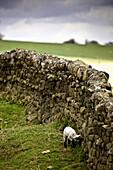 'Northumberland, England; A Lamb Walking Along A Stone Wall'