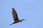 'Hawaii, United States Of America; White-Faced Ibis (Plegadis Chihi) In Flight'