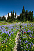 'Washington, United States Of America; Wildflowers In A Meadow With Mount Rainier In The Background In Paradise Park In Mt. Rainier National Park'