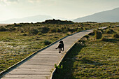 'A Dog Walking Down A Boardwalk In Costa De La Luz; Tarifa, Cadiz, Andalusia, Spain'
