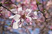 'A Magnolia Tree Blossoming Flowers At Springtime In Montreal Botanical Garden; Montreal, Quebec, Canada'