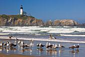 'Seagulls On The Beach And Yaquina Head Lighthouse On The Oregon Coast; Oregon, Usa'