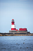 'Longstone Lighthouse And Guillemot In The Water; Farne Islands, Northumberland, England'