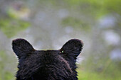 'The Back Of A Grizzly Bear (Ursus Arctos Horribilis) Head; Hyder, Alaska, Usa'