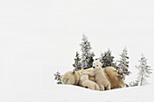 'Polar Bear (Ursus Maritimus) Mother And Her Cubs Playing In The Snow In Wapusk National Park; Churchill, Manitoba, Canada'