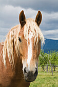 'Light Brown Horse; Ile D'orleans, Quebec, Canada'