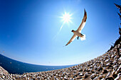 'Gannet Flying On A Journey To Find His Mate At Bonaventure Island; Perce, Quebec, Canada'