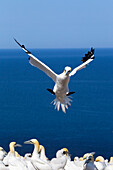 'Gannet About To Land Into The Colony On Bonaventure Island; Perce, Quebec, Canada'