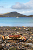 'A Crab On The Shore; Isle Of Barra, Scotland'