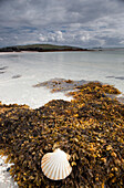 'Shell And Seaweed On The Shore On Eilogarry Beach; Isle Of Barra, Scotland'