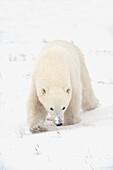 'Curious Young Polar Bear (Ursus Maritimus) Exploring; Churchill, Manitoba, Canada'