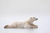 'Polar Bear (Ursus Maritimus) Laying On A Lake Of Ice; Churchill, Manitoba, Canada'
