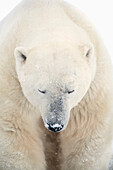 'A Polar Bear (Ursus Maritimus) Resting With It's Eyes Closed; Churchill, Manitoba, Canada'