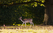 'A Deer (Cervidae) Walking Across The Grass; North Yorkshire, England'