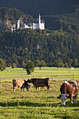 'Bavarian Castle On A Mountain Side With Cattle In The Fields In The Foreground; Fussen, Germany'