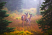 'Deer In The Fog In Paradise Park In Mt. Rainier National Park; Washington, United States Of America'