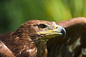 'The Head Of An Eagle; Windermere, Cumbria, England'