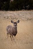 'A Wild Mule Deer (Odocoileus Hemionus); Wyoming, United States Of America'
