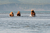 'Three Brown Grizzly Bears (Ursus Arctos Horribilis) Fishing In The Ocean; Alaska, United States Of America'