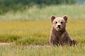 'A Brown Grizzly Bear Cub (Ursus Arctos Horribilis) Sticking Out It's Tongue; Alaska, United States Of America'
